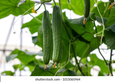The growth and blooming of greenhouse cucumbers. the Bush cucumbers on the trellis. Cucumbers vertical planting. Growing organic food. Cucumbers harvest