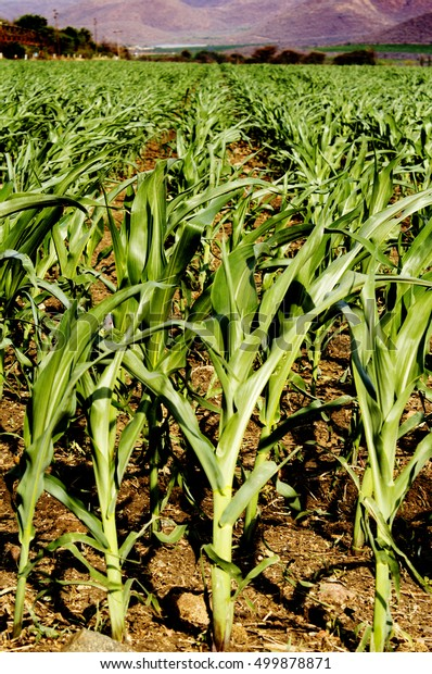 Growth of cornfield crops
