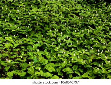 Growth of False lily of the valley