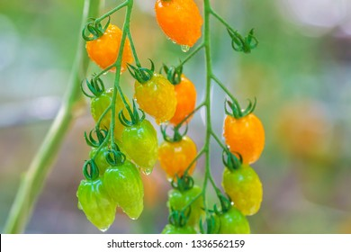 Growth of fresh cherry tomatoes covered with moist in a Dutch greenhouse