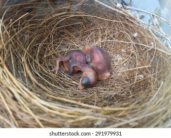 (growth of nestling 1st - 2nd day born)  new born bird in the nest