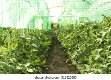 Growth of organic tomato plants in the greenhouse.