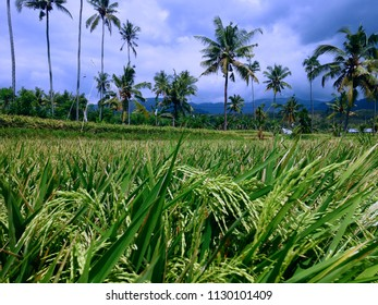 Growth Of Paddy Plants In The Rice Field At The Village