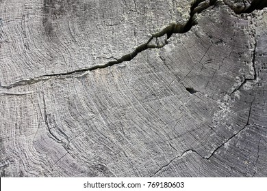 The growth ring of a ancient redwood
