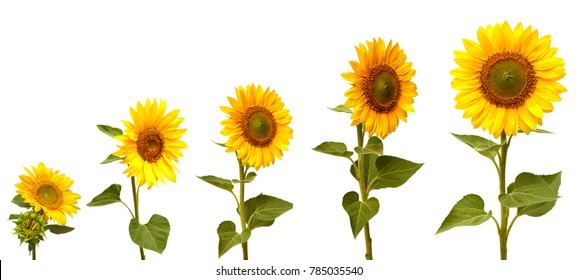 Growth stage of sunflower isolated on white background
