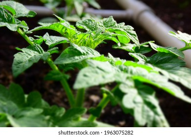 Growth of tomato plants inside a greenhouse. Stock Photo