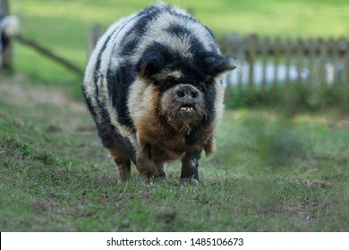 Gruff looking Kune Kune pig plodding through a field in Sussex, England.