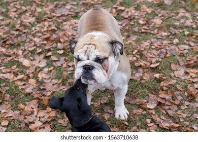 Grumpy english bulldog and miniature pinscher are standing in the autumn park. Pet animals.