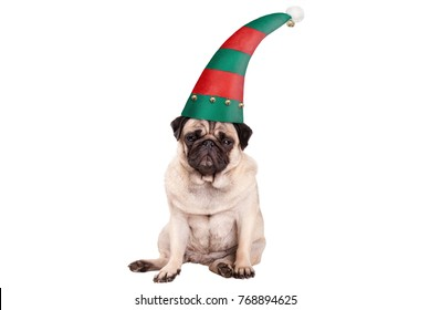 grumpy faced pug puppy dog with elf hat for Christmas, sitting down, isolated on white background