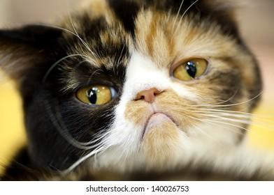grumpy facial expression Exotic tortoiseshell cat portrait close-up