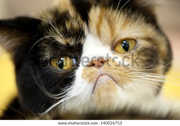 grumpy facial expression Exotic tortoiseshell cat portrait close-up