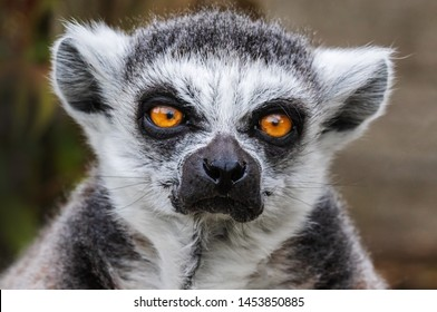 [Image: grumpy-lemur-head-shoulders-view-260nw-1453850885.jpg]