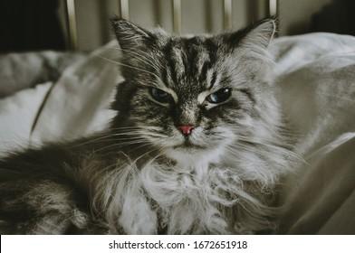 Grumpy Long Hair Cat On Bed