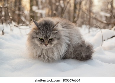 Grumpy long hair cat sitting on a cold snow in winter forest