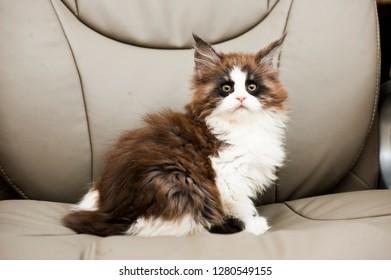 grumpy maine coon kitten