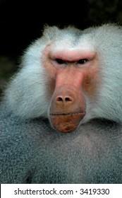 Grumpy Old Monkey