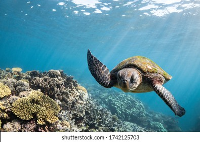 Grumpy Turtle swims over coral reef through clear blue water on the Ningaloo Reef, Western Australia