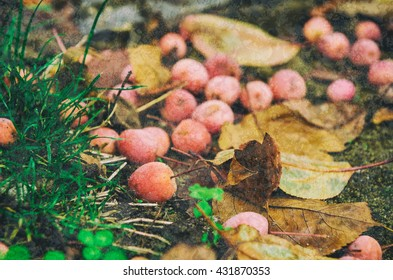 Grunge textured natural seasonal autumn background with small fallen red apples and leaves
