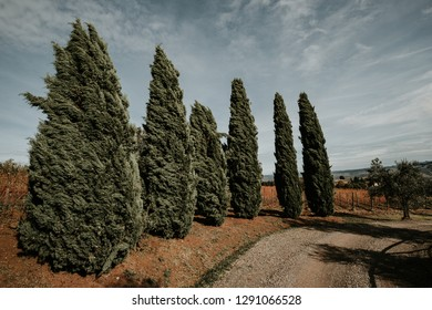 A gruop of wind blown cypress in Toscany. Landascape with sky e rural street in sunlight