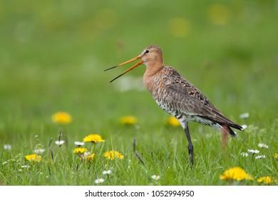 grutto in bloemenveld; black tailed godwit in flower field
