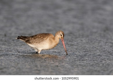 Grutto wadend   in het water; wading black tailed godwit