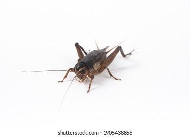 Gryllidae , Cricket isolated on white background.