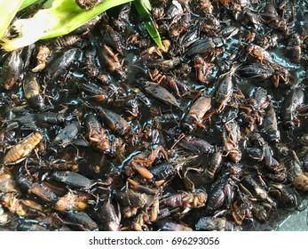 Gryllidae Cricket; Thai food hi protein.