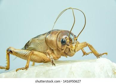 Gryllidae isolated on a white background