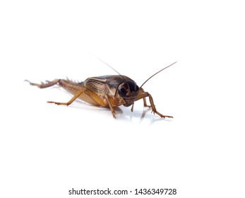Gryllidae isolated on white background.( Close-up. Selective focus and blur focus )