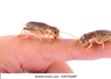 Gryllidae isolated on white background