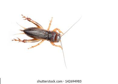 Gryllidae on a white background.
