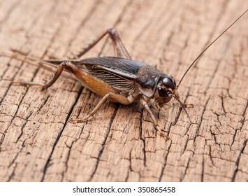 Gryllidae on wood