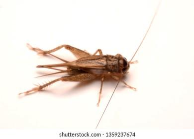A Gryllidae ,Orthoptera isolated on white background.