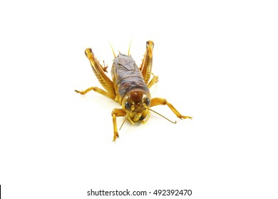 Gryllidae ,Orthoptera isolated on white background