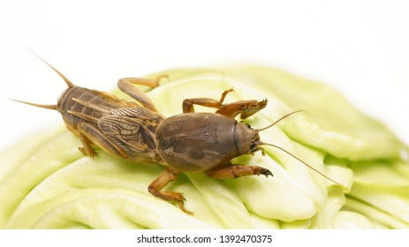 Gryllotalpidae eats fresh cabbage. Pest of cultivated plants, eats their roots. Great bait for carp and catfish.