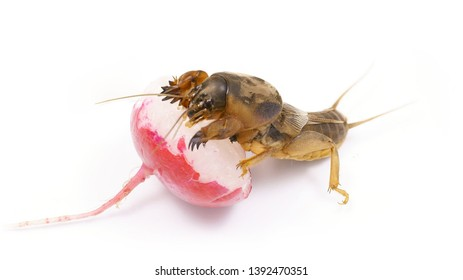 Gryllotalpidae eats juicy radish. Pest of cultivated plants, eats their roots. Great bait for carp and catfish