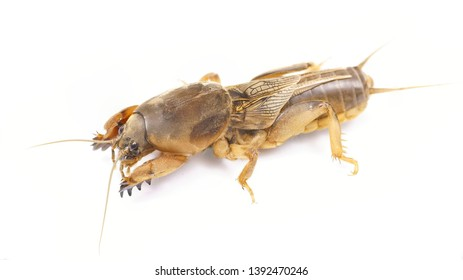Gryllotalpidae is a pest for root plants. Fishing bait. Bait for carp and catfish