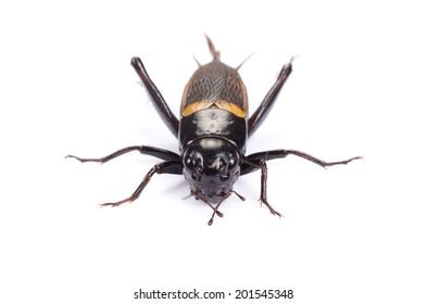 Gryllus bimaculatus cricket isolated on white - female