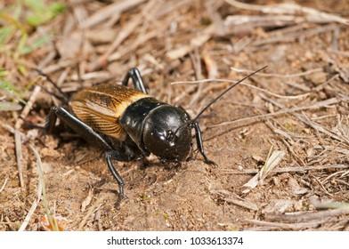 Gryllus campestris (field crickets)