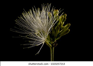 guaba tree flower macro