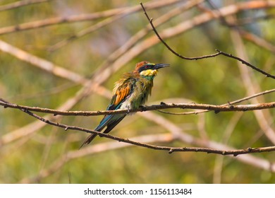 Guadarrama, Madrid, Spain-August, 7,2018: European bee-eater or common bee-eater Merops apiaster