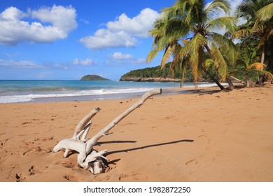 Guadeloupe sandy beach. Caribbean vacation landscape. Perle Beach driftwood (Plage de la Perle). Basse-Terre island.
