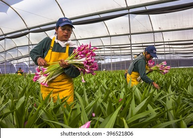 Guaillabamba, Ecuador- MAY 14, 2015: Unidentified women picking flowers in a specialized greenhouse crops.