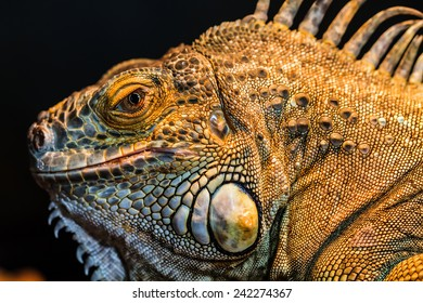 Guana lizard in nature. Iguana in exotic zoo terrarium
