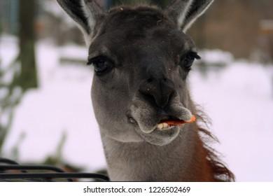 Guanaco with carrot. Feeding guanacos favorite treat.Mammalian kind of lamas of the camelid family.