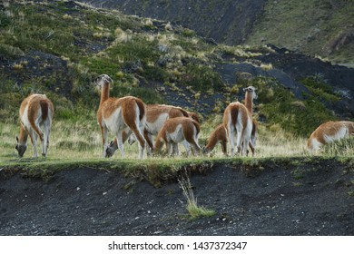 Guanaco wildlife with green grass from Torres del Paine, Chile