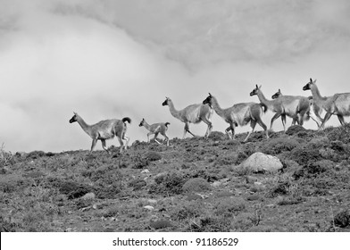 Guanacoes (Lama guanicoe) in Patagonia, Torres del Paine. The name guanaco comes from the South American language Quechua word wanaku (old spelling, huanaco). Young guanacos are called chulengo(s).