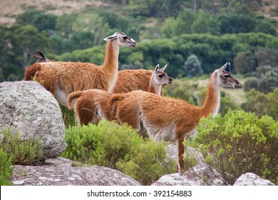 Guanacos in the hill