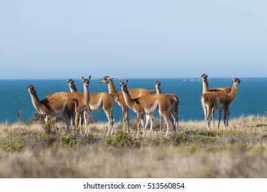 Guanacos, Lama Guanicoe, Peninsula Valdez, Chubut,Patagonia ,Argentina