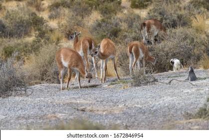 """Guanacos """" Lama guanicoe """" walk through a Magellanic penguin """" spheniscus magellanicus """" colony in"""